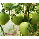 Семена томата Японка