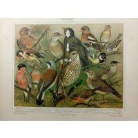 ХРОМОЛИТОГРАФИЯ. ПТИЦЫ . Гер.   Stubenvogel  I  19 век .