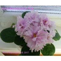 Фиалка Ален-Marshmallow Pink (детка фото в лоте)