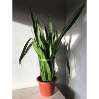 Сансевиерия щучий хвост тёщин язык взрослое больше красивое растение 75 см