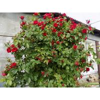 Роза плетистая Красная.