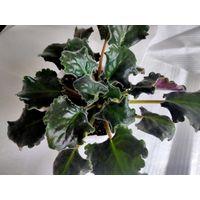ЛЕ Фея (взрослое растение)