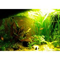 Риччия в аквариум, баночка 100 грамм -1р