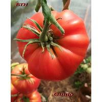 Семена томата Guido (Гвидо)
