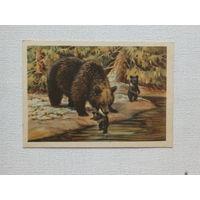 Трофимов медведица и медвежата 1954 10х15 см