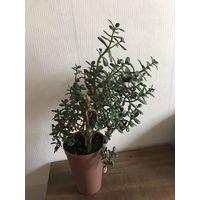 Толстянка красула денежное дерево большое красивое здоровое растение интересной формы