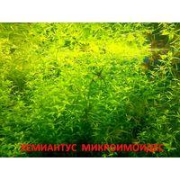 Хемиантус микроимоидес и др. растения. НАБОРЫ растений для запуска. ПОЧТОЙ и МАРШРУТКОЙ отправлю.