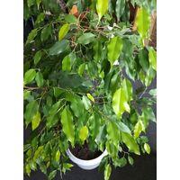 Фикус Бенжамина. Листочки лимонного цвета. Высота более 135 см.