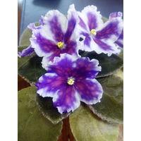 Фиалка ВаТ-Царь Горох  - молодое растение