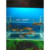 Аквариумные рыбки : килли фиш (фундулы)