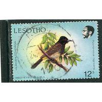 Лесото. Птица. Масковый бюльбюль