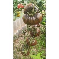 Семена томата The Thong dwarf
