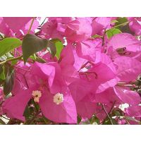 Бугенвилея розовая