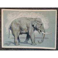 Лаптев А. Слон. 1956 г. Чистая