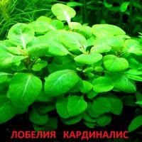 АКВАРИУМНЫЕ РАСТЕНИЯ: Лобелия кардиналис. НАБОРЫ растений для запуска. ПОЧТОЙ и МАРШРУТКОЙ отправлю.