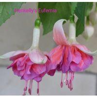 Фуксия Henkelly's Eufemia свежесрезанный черенок