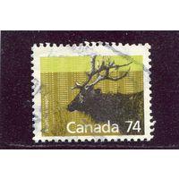 Канада. Канадский благородный олень