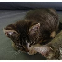 Котенок-тигренок в дар