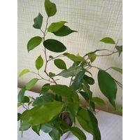 Фикус. Три растения.