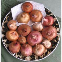 Луковицы гладиолусов 15 штук