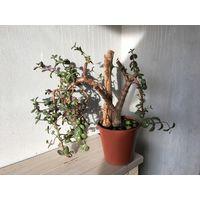 Толстянка капсула денежное дерево большое взрослое и Камнеломка композиция из двух видов растений