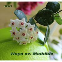 ХойяHoya cv. Mathilde(Hoya carnosa x serpens)