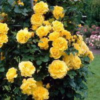 Саженец розы Голден Ковер