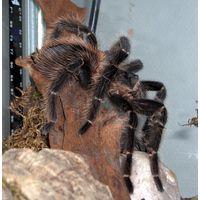 Lasiodora parahybana паук-птицеед
