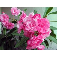 Олеандр махровый розовый.
