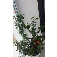 Молочай кактус красный и желтый 30см