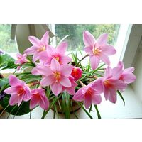 Зефирантес розовый