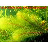 Перестолистник красностебельный и др. растения. НАБОРЫ растений для запуска акваса. ПОЧТОЙ и МАРШРУТКОЙ отправлю.