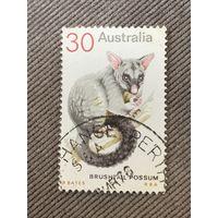 Австралия. Brushtal Possum