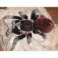 Паук-птицеед Brachypelma vagans молодь паука-птицееда около 1,5 см по телу