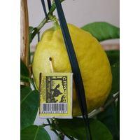 Лимоны Пандероза