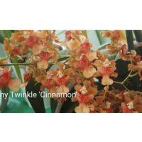 Орхидея Онцидиум Твинкль Cinnamon, ароматный бронь