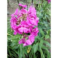 Флоксы розовые, хоста - многолетние цветы.