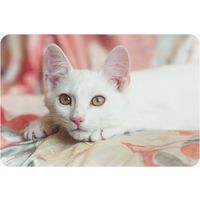 Белый котенок (девочка) в дар