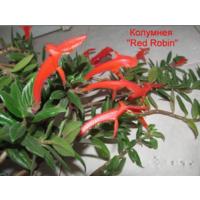 """Колумнея """"Red Robin"""" -свежесрезанные черенки"""