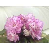 Фиалка АВ Розовые розы неб детка