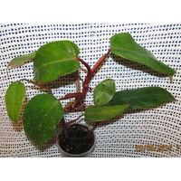 Филодендрон краснеющий-полезное растение!