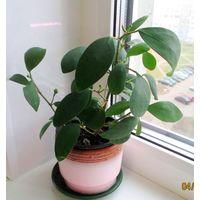 Фикус Дельтовидный (Ficus Deltoidea)