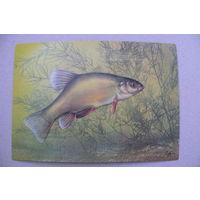 Исаков А., Линь; 1987, чистая (на обороте описание; рыбы).