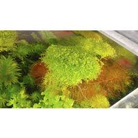 Аквариумные растения: Аквариумные растения Мох Риччия