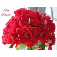 Пеларгония Pink Rambler Розоцветная/Rosebud пеларгония - укорененный черенок
