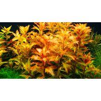 Аквариумные растения Прозерпинака палюстрис (Proserpinaca palustris)