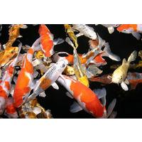 Карп-кои , молодь рыбы .