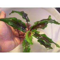 Аквариумные растения Криптокорина Вендта Зеленая