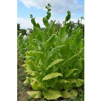 """Семена табака """"Virginia Gold"""" (Вирджиния Голд) >100 шт."""