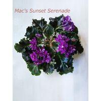 Фиалка полумини Mac's Sunset Serenade - детка крупная(фото в лоте)